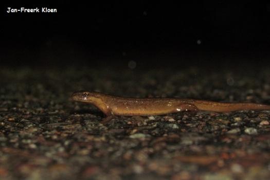 Kleine watersalamander, vrouw